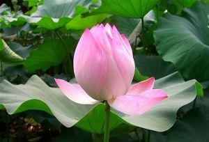 Lotus-flower_15