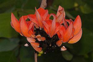 Kimshuka butea-frondosa