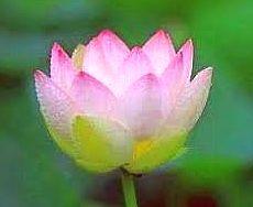 lotus 888
