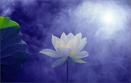 lotus-purple