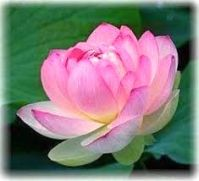 rose-SG.2 jpg