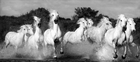herd_of_white_horses_ga