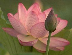 img_lotus