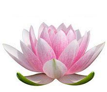 lotus-flower-meaning-3