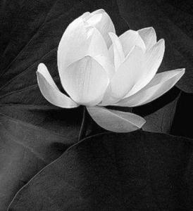 Lotus_Flower purity