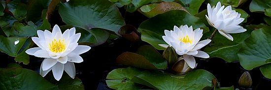 white_lotus_2