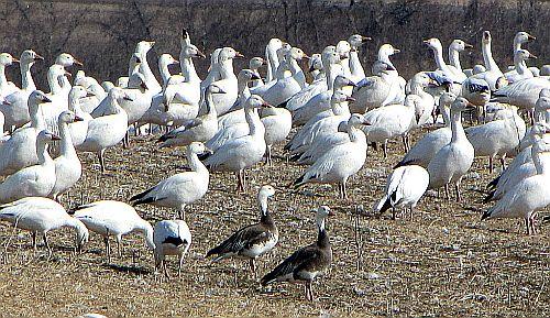 sea geese in ontario