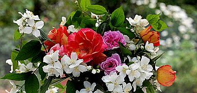 rose_jasmine_flowers