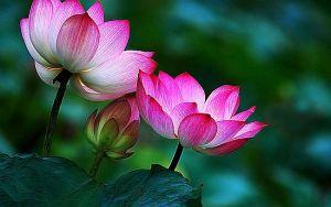lotus-flower-buddha