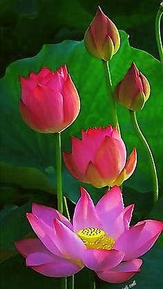 lotus-buds