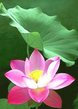lotus -leaf