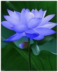 lotus-blue