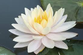white_lotus3