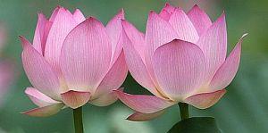 lotus twin