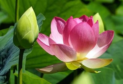 lotus-flower-and-bud