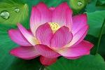 lotus333