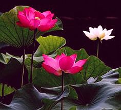lotus with leaves